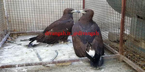 تحویل دوبهله عقاب توسط جوانان طبیعت دوست به محیط زیست هرسین